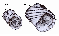 The L. saxatilis ecotypes